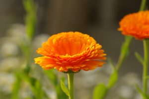 ガーデン用品屋さんの花図鑑 キンセンカ