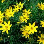ガーデン用品屋さんの花図鑑 コレオプシス