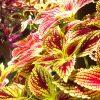 ガーデン用品屋さんの花図鑑 コリウス
