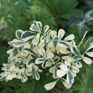 ガーデン用品屋さんの花図鑑 コロニラ バレンティナ