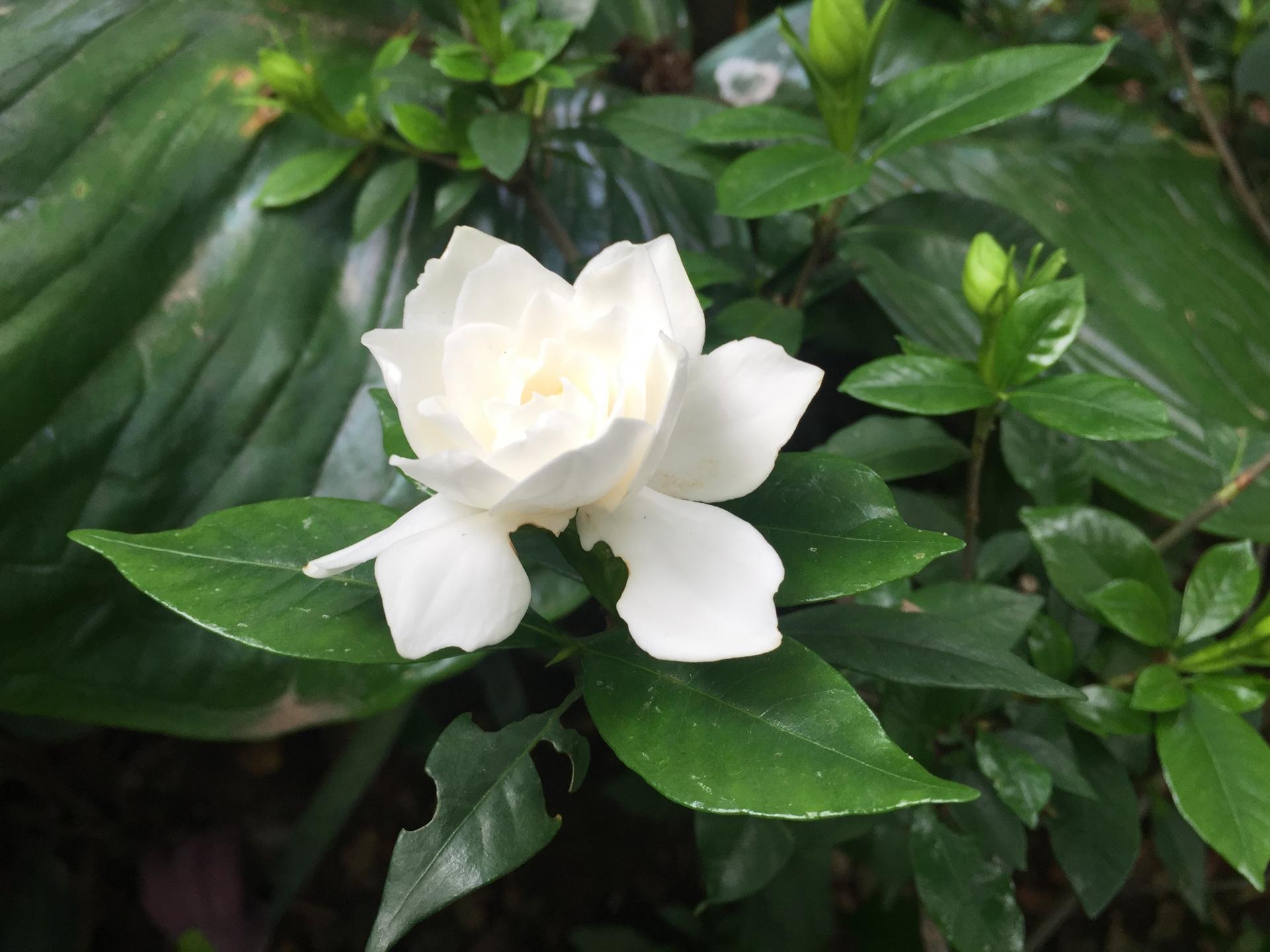 ガーデン用品屋さんの花図鑑 クチナシ