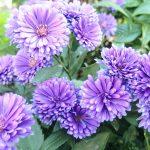 ガーデン用品屋さんの花図鑑 クジャクアスター