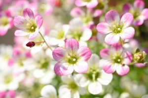 ガーデン用品屋さんの花図鑑 クモマグサ