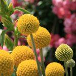 ガーデン用品屋さんの花図鑑 クラスペディア