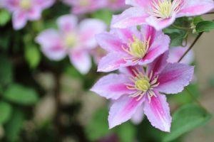 ガーデン用品屋さんの花図鑑 クレマチス