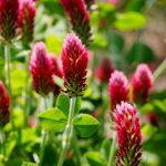 ガーデン用品屋さんの花図鑑 クリムゾンクローバー