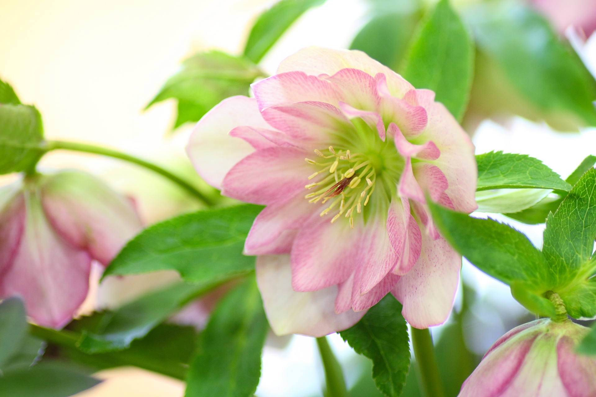 ガーデン用品屋さんの花図鑑 クリスマスローズ