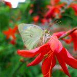 ガーデン用品屋さんの花図鑑 クロコスミア