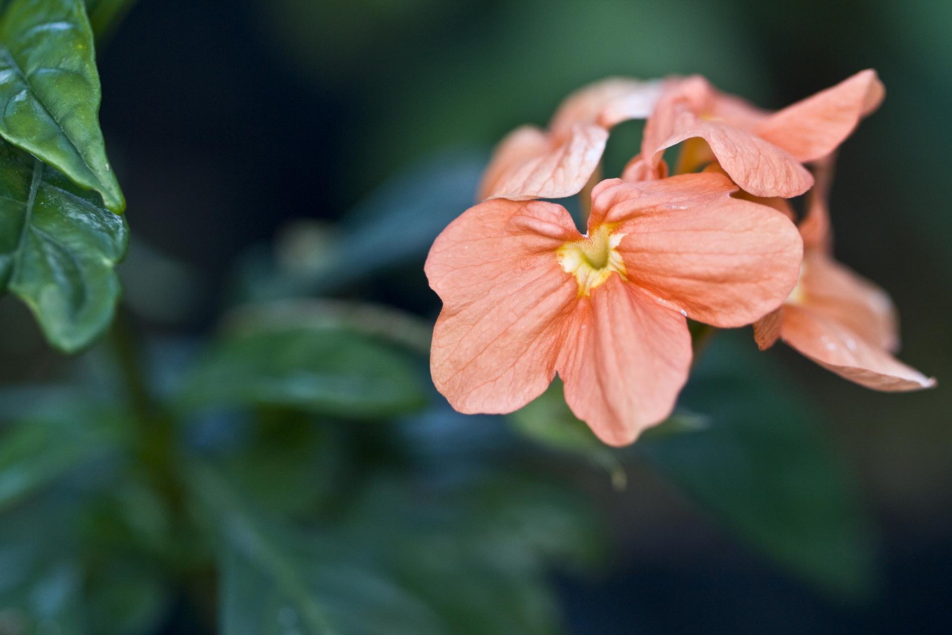 ガーデン用品屋さんの花図鑑 クロッサンドラ