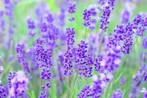 ガーデン用品屋さんの花図鑑 ラベンダー