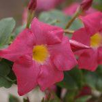 ガーデン用品屋さんの花図鑑 マンデビラ