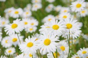 ガーデン用品屋さんの花図鑑 マーガレット
