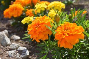 ガーデン用品屋さんの花図鑑 マリーゴールド