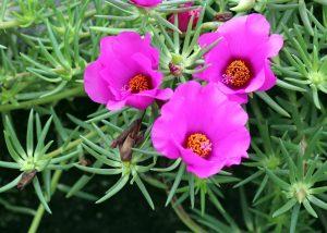 ガーデン用品屋さんの花図鑑 マツバボタン