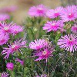 ガーデン用品屋さんの花図鑑 マツバギク