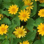 ガーデン用品屋さんの花図鑑 メランポジューム