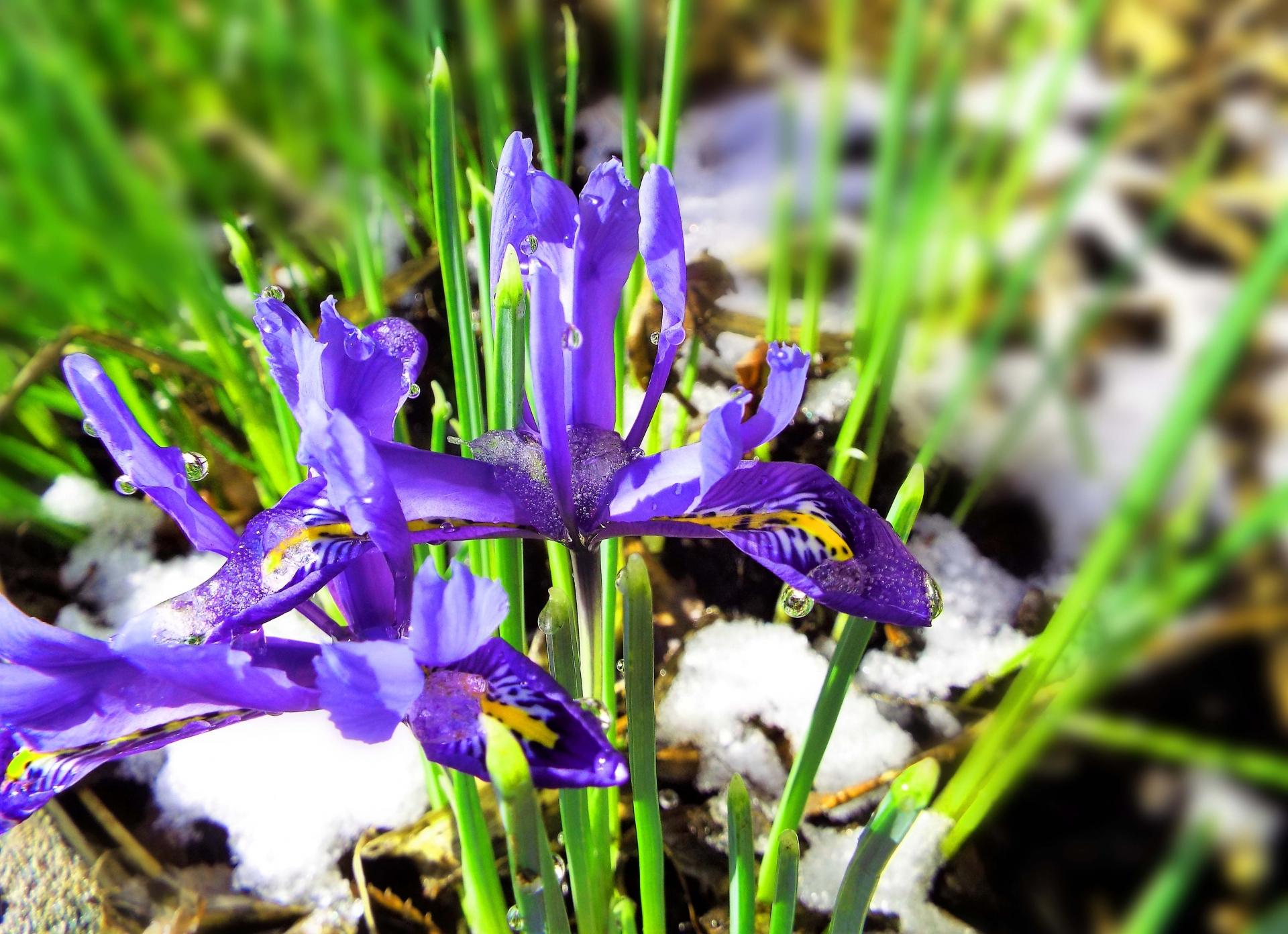 ガーデン用品屋さんの花図鑑 ミニアイリス