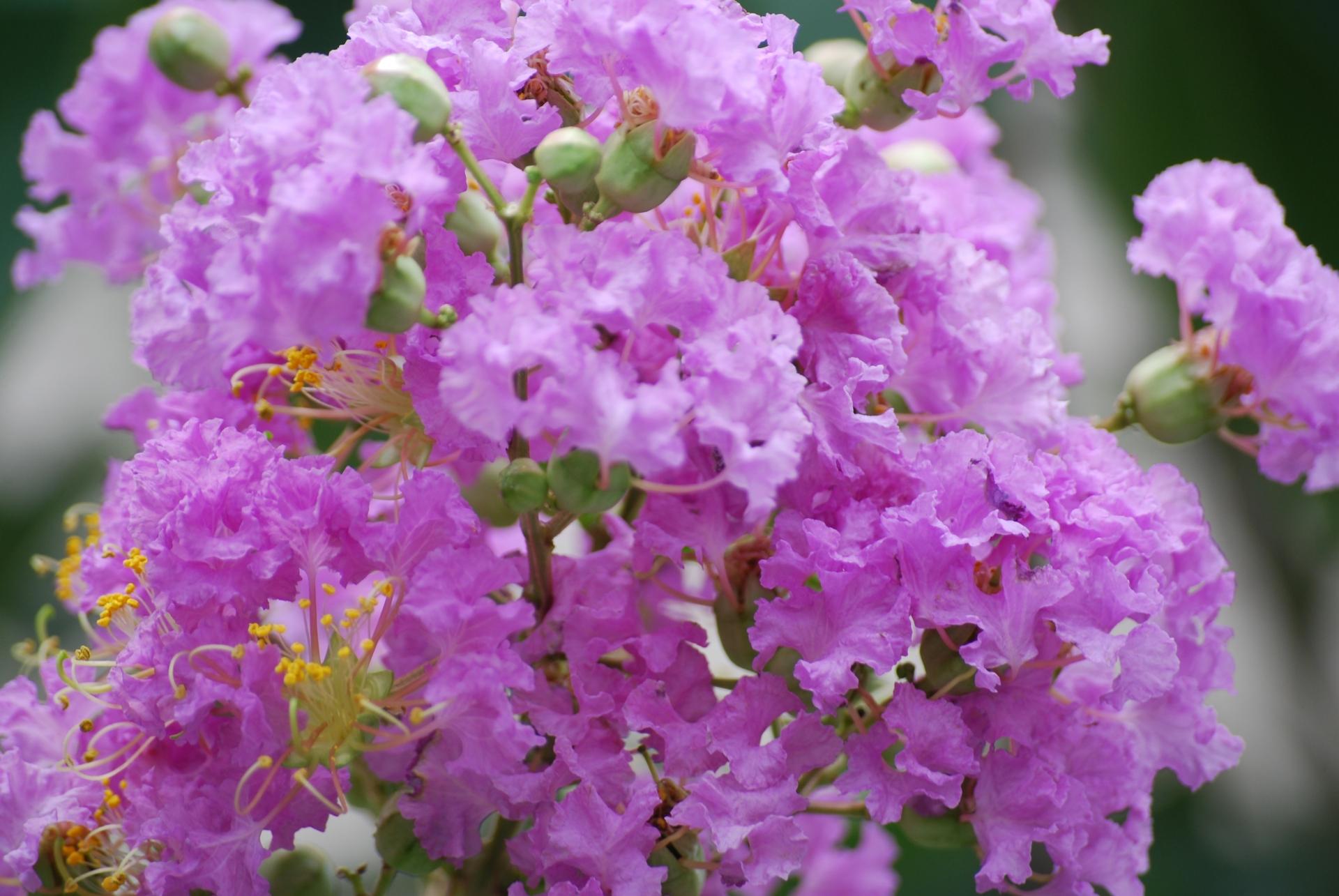 ガーデン用品屋さんの花図鑑 ミソハギ