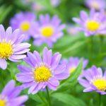 ガーデン用品屋さんの花図鑑 ミヤコワスレ