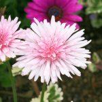 ガーデン用品屋さんの花図鑑 モモイロタンポポ