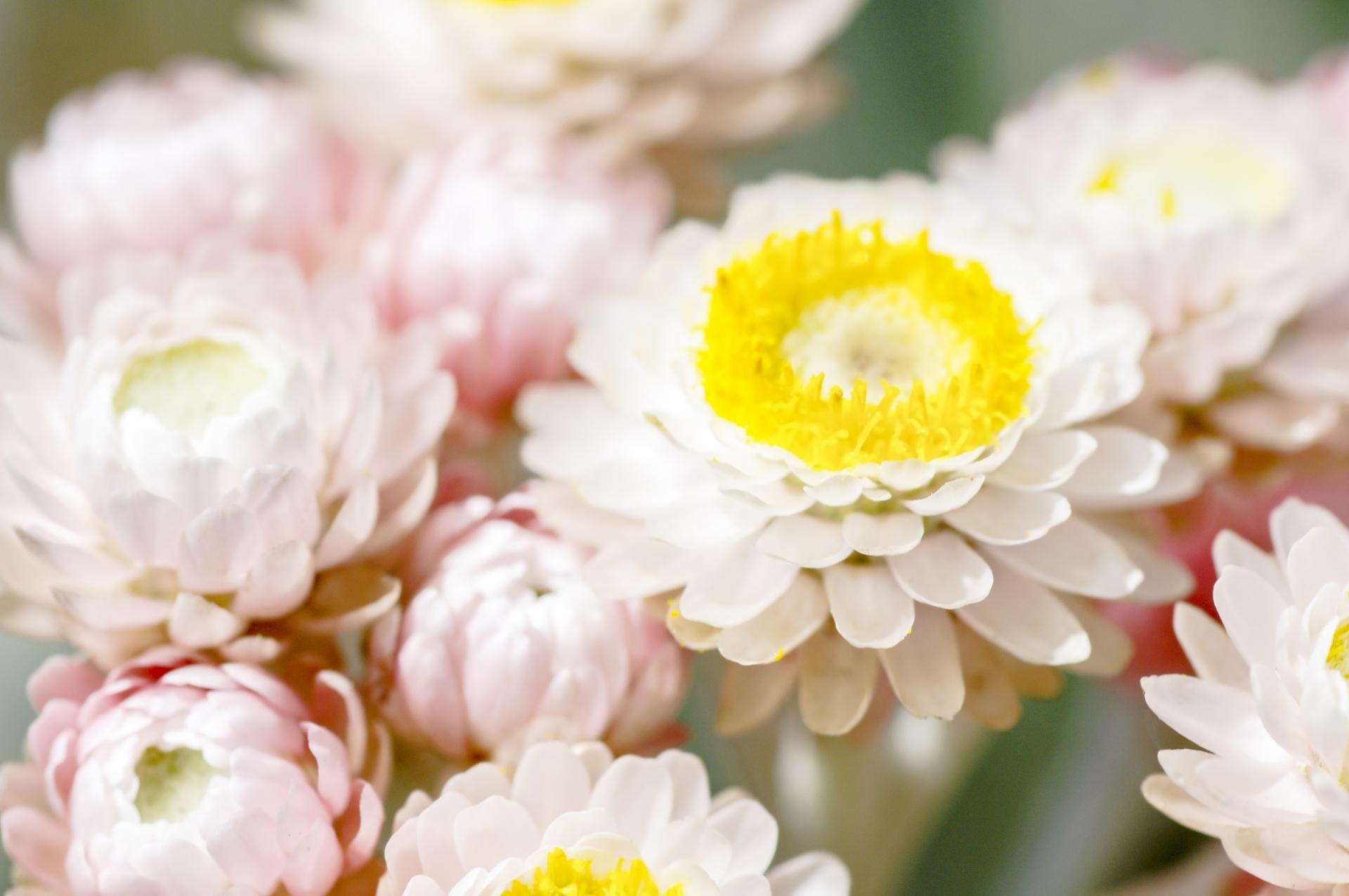 ガーデン用品屋さんの花図鑑 ムギワラギク