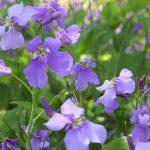 ガーデン用品屋さんの花図鑑 ムラサキハナナ