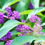 ガーデン用品屋さんの花図鑑 ムラサキシキブ(コムラサキ)