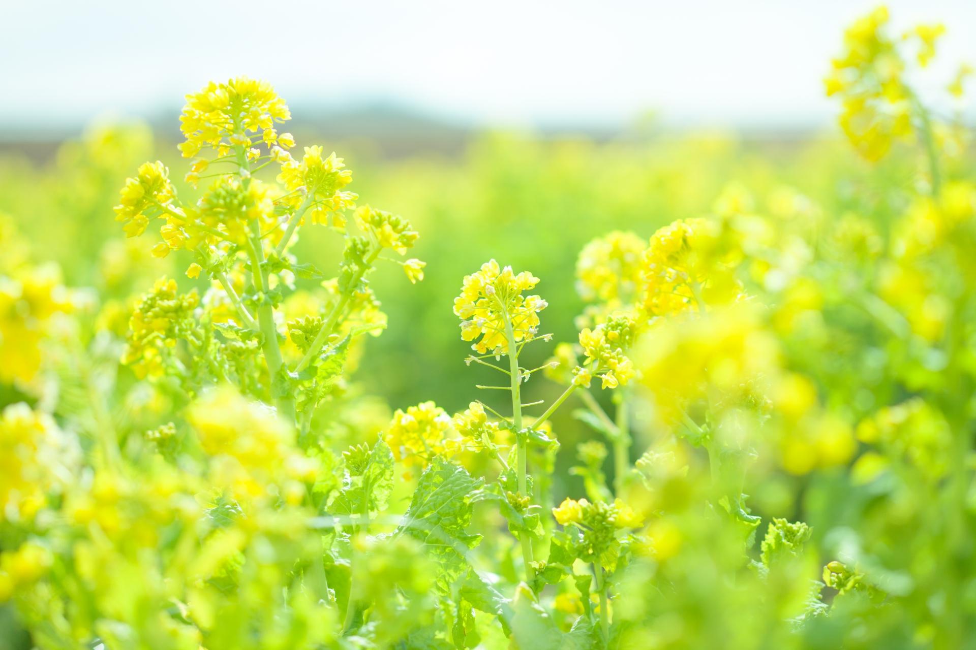 ガーデン用品屋さんの花図鑑 ナノハナ