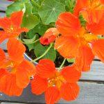 ガーデン用品屋さんの花図鑑 ナスタチウム
