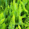 ガーデン用品屋さんの花図鑑 ネフロレピス