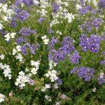 ガーデン用品屋さんの花図鑑 ネメシア