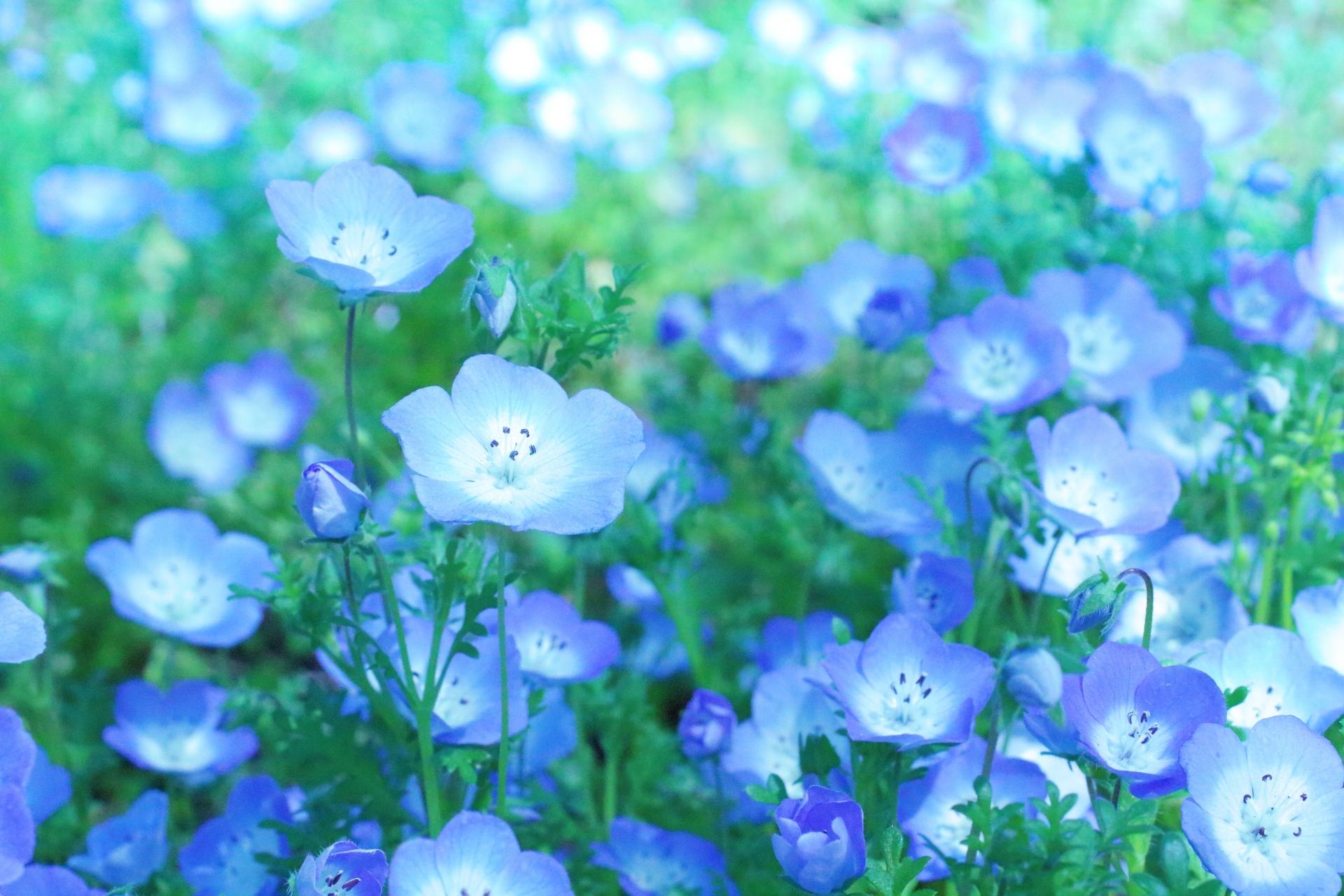ガーデン用品屋さんの花図鑑 ネモフィラ