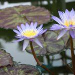 ガーデン用品屋さんの花図鑑 熱帯スイレン
