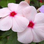ガーデン用品屋さんの花図鑑 ニチニチソウ
