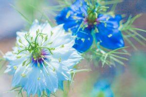 ガーデン用品屋さんの花図鑑 ニゲラ