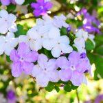 ガーデン用品屋さんの花図鑑 ニオイバンマツリ