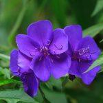 ガーデン用品屋さんの花図鑑 ノボタン