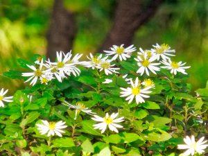 ガーデン用品屋さんの花図鑑 ノコンギク