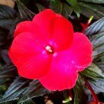 ガーデン用品屋さんの花図鑑 ニューギニアインパチェンス