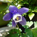 ガーデン用品屋さんの花図鑑 オダマキ