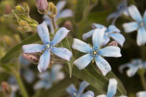 ガーデン用品屋さんの花図鑑 オキシペタラム
