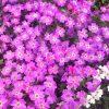 ガーデン用品屋さんの花図鑑 オーブリエチア