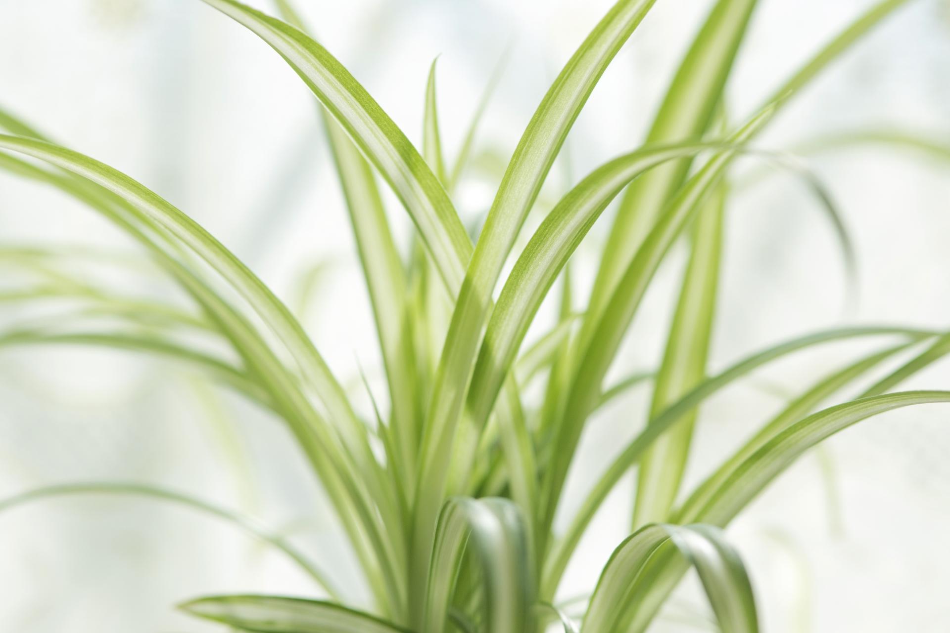 ガーデン用品屋さんの花図鑑 オリヅルラン