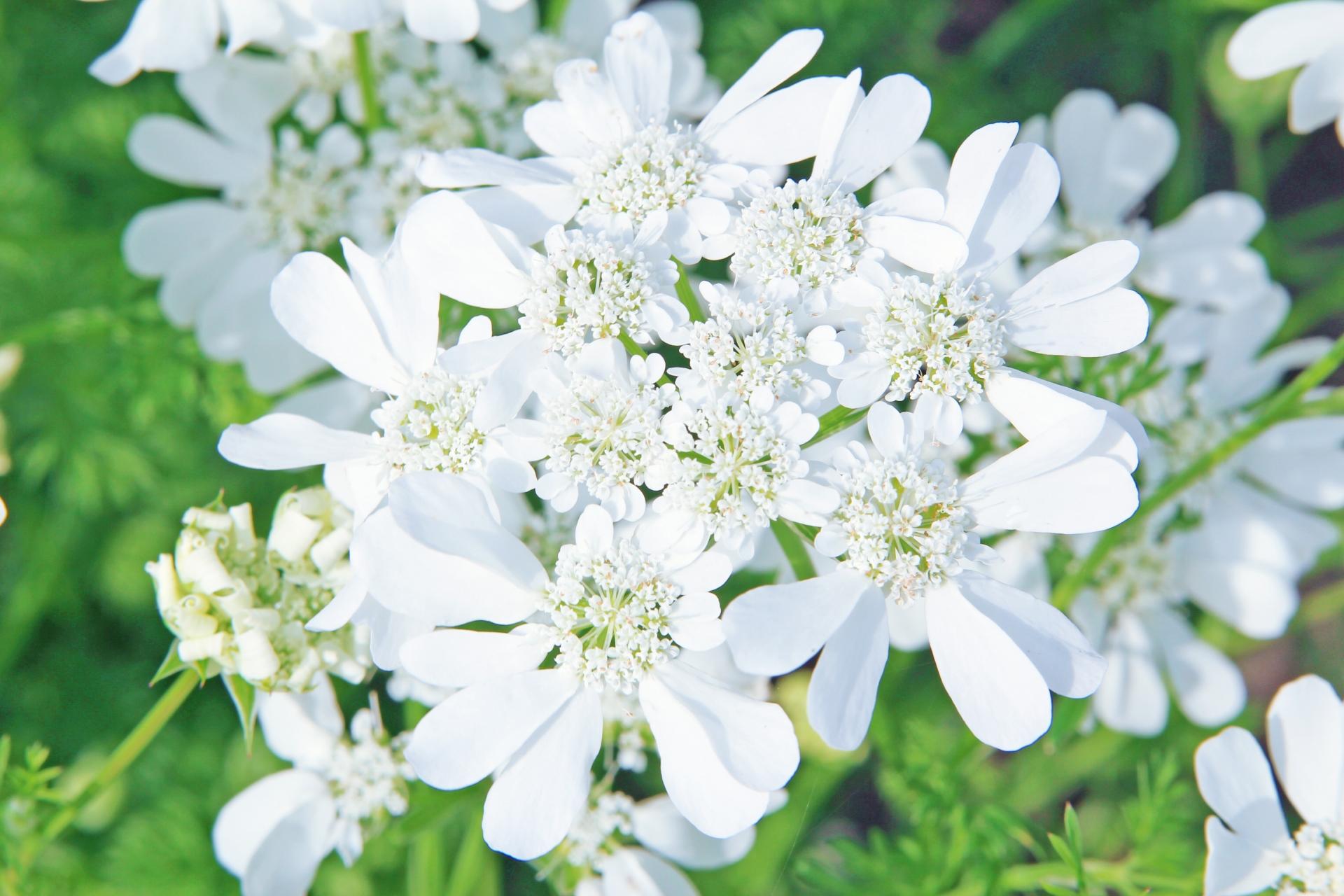 ガーデン用品屋さんの花図鑑 オルレア ホワイトレース
