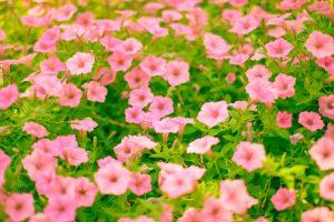 ガーデン用品屋さんの花図鑑 オシロイバナ