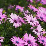 ガーデン用品屋さんの花図鑑 オステオスペルマム