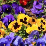 ガーデン用品屋さんの花図鑑 パンジー