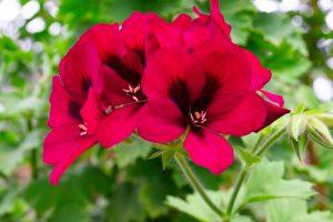 ガーデン用品屋さんの花図鑑 ペラルゴニューム