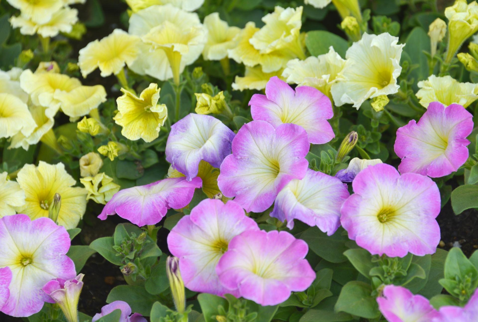 ガーデン用品屋さんの花図鑑 ペチュニア