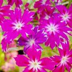 ガーデン用品屋さんの花図鑑 ポレモニウム